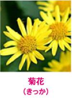 菊花(きっか)